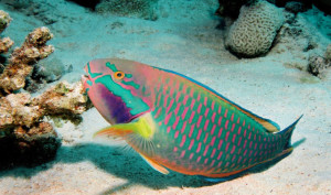 The-Parrotfish