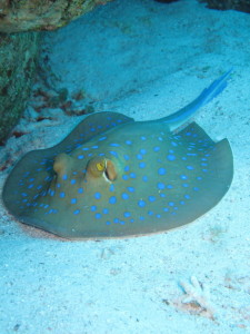 blue_spotted_stingray_by_cicciobello_bobo-d322wm9