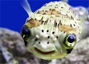 porcupine-fish