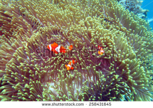 stock-photo-clown-fish-nemo-at-anemone-reef-scuba-diving-the-coral-reef-in-the-south-of-thailand-258431645